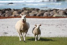 Sheep With a View! Visit Norway's innovative tourism campaign is a winner | Eat | Play | Sleep