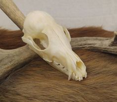 Red Fox Skull, Animal Skull, Taxidermy, Bones, Vulture Culture, Oddities, Curiosities, Cabin Decor, Rustic Decor, Wicca, Skeleton, Goth by SagebrushandBeyond on Etsy
