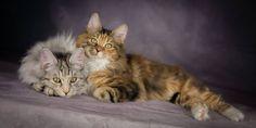 Rafaella & Micah <3 Bobtail Cat, Cattery, Cats, Animals, Gatos, Animales, Animaux, Animal, Cat