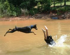 That doberman didn't want to swim, he just wanted to see where his owner was going.
