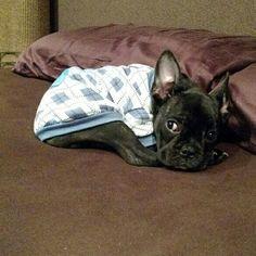 Me deixa dormis pelado vai.... não tá frio hoje...kkkk #buldoguefrances #frenchiebulldog #frenchbulldog #marcopolo