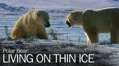 """Watch """"Polar Bear: Living on Thin Ice"""" Full Episode available online: YouTube.com/SmithsonianChannel Movies To Watch Now, Survival Watch, On Thin Ice, Polar Bears, Full Episodes, Watch V, Seals, Beautiful Creatures, Animal Kingdom"""