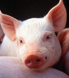 Le cochon est un animal intelligent, malgré les apparences