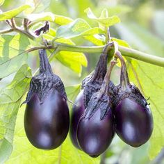 Patio Baby Eggplant - The glossy, purple-black eggplants are never bitter, even if you leave them on plants for a few days once they ripen.