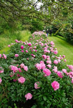 Peony... One of my favorite flowers. Wish I had a peony hedge like this. The fragrance alone would make guests dizzy.