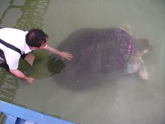 Hoan Kiem turtle - one of the last of its kind. Read the rescue story here.