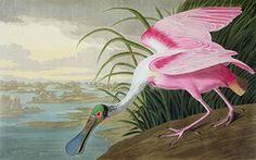 Animaux Art - Spatule rose par John James Audubon