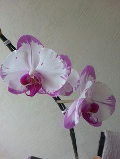 Beautiful orchidea!