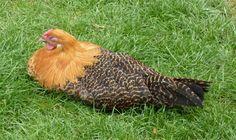 5 Tipps rund um die Hühnerhaltung im Garten