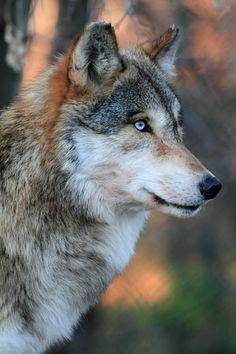 Wolf Gallery – frozenshutter - Try Tutorial and Ideas Wolf Photos, Wolf Pictures, Wolf Love, Beautiful Creatures, Animals Beautiful, Animals And Pets, Cute Animals, Timberwolf, Wolf Spirit Animal
