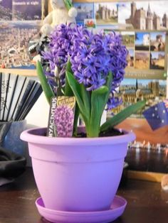 Hyacinth Flower: The legend behind it