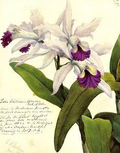 stilllifequickheart:    John Day  Laelia Schilleriana  1862