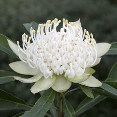 Waratah This new selection of Shady Lady White, flowers more than the red and is easier to grow. It provides spectacular flowers in Spring and is great for use in low maintenance gardens.