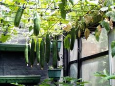 Cucumbers here are growing vertical over head and this is really the best way to grow cucumbers as they grow clean and can be picked easily.