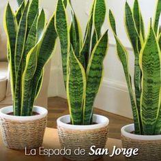 """Se las conoce por varios nombres que aluden a las típicas hojas duras y punzantes como """"Espada de San Jorge"""", """"Planta de La Serpiente"""", """"Cola de Lagarto"""" y """"Lengua de Suegra"""". Uno de sus grandes beneficios, si la tenemos en el interior de la casa, es que ayuda a purificar el aire gracias a que transforma más CO2 en O2 que otras plantas. #ayudadepresion #plantasdeinterior"""