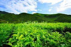 Tea Plantation Fields Fields, Tea, Mountains, Nature, Travel, High Tea, Naturaleza, Viajes, Traveling