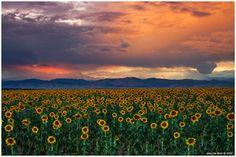 Longmont, Colorado  God's Sunflower Sky by kkart