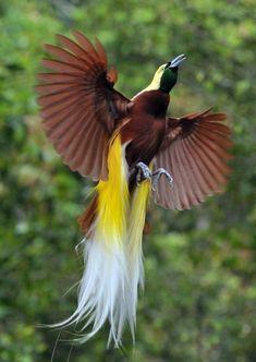 Hasil gambar untuk greater bird of paradise flying