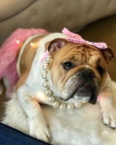 The major breeds of bulldogs are English bulldog, American bulldog, and French bulldog. The bulldog has a broad shoulder which matches with the head. English Bulldog For Sale, Blue French Bulldog Puppies, English Bulldog Funny, Bulldog Puppies For Sale, British Bulldog, Funny Bulldog, Valley Bulldog, Best Guard Dogs, Cute Bulldogs