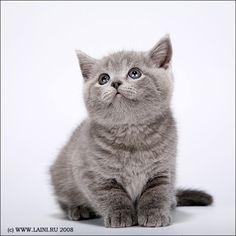 Laini & Samin : котята британской породы