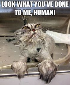 "I grew up helping my Grandmother bathe her show Persian cats.  They are so ""big"" and fluffy but once they are wet they look like this!!! Too funny.  And they know they look horrible too. :)"
