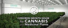 tıbbi bitki üretimi