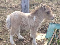 Shetland pony baby, Burleson, TX. 2/21/14