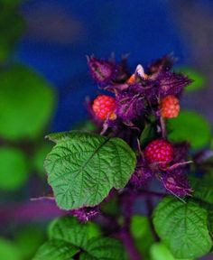 Japanese wineberry has wonderful fruit that arrives in the lull between summer and autumn raspberries. It is deeper flavoured than raspberries and more wine-y; hence the name.