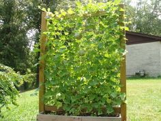 Trellis for growing melons. From Vegetable Gardening Forum - GardenWeb, posted by engineeredgarden.