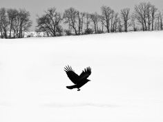 Black and white landscape photograph of a blackbird flying away from a snow-covered field Standard Prints: - Printed on real silver-based Resin Coated (RC) photo paper - Includes white border for easi