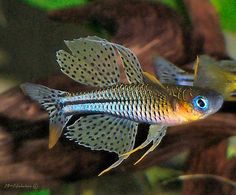Rainbowfish Forum :: View topic - Pseudomugil cf. gertrudae Aru II