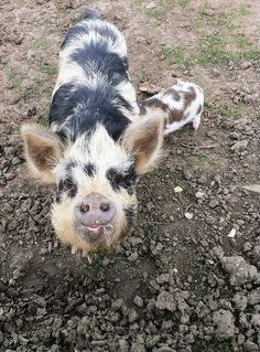 Kunekune pig ... and one suckling piglet by highfielders, via Flickr