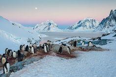 Penguin Rookery at Petermann Island - Antarctica