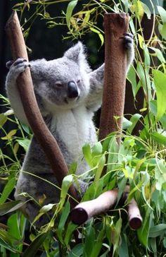 Koala is practicing fitness. Animals And Pets, Baby Animals, Cute Animals, Baby Koala, Koala Bears, The Wombats, Wild Creatures, Australian Animals, Bears