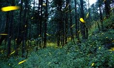 Fireflies light up in sync in the woods of Piedra Canteada, near Nanacamilpa, Tlaxcala state, Mexico. The income from tourism is providing a new…