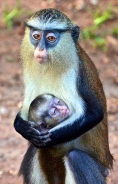 Mother monkey hugs her sleepy baby....