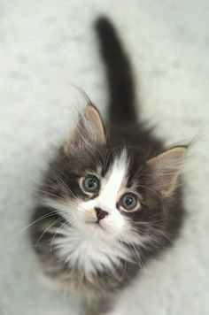 If you're looking for Free Maine Coon Kittens for adoption we've written some tips on how to find Free Maine Coon Cats and where to look for them. Kittens And Puppies, Cute Cats And Kittens, Kittens Cutest, Fluffy Kittens, Fluffy Cat, Kittens Meowing, Persian Kittens, Corgi Puppies, Pretty Cats