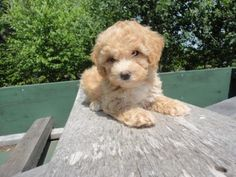 Little Bichpoo Puppy. She is 8 weeks old Chip#304