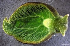 Solar powered sea slug    Elysia chlorotica not only obtains chloroplasts from the algae it feeds on, it has incorporated algal genes into its own genome.  (photo: Patrick Krug, via Catologing Diversity in the Sacoglossa)