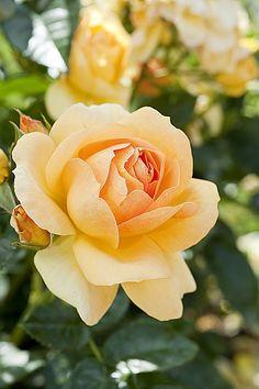 Rose Hansestadt Rostock, création Rosen Tantau, 1er prix catégorie buisson à fleurs groupées, 104ème Concours international de roses nouvelles