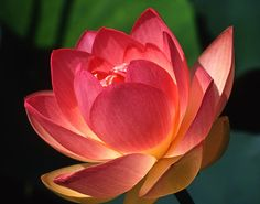 Google Image Result for http://images.fineartamerica.com/images-medium-large/lotus-blossom-jerry-weinstein.jpg