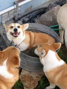 Corgi hot tub, party of one.../would you like to go for a dip?