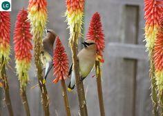 https://www.facebook.com/WonderBirds-171150349611448/ Cánh sáp tuyết tùng; Họ Cánh sáp-Bombycillidae/Waxwing; Trung và Bắc Mỹ || Cedar waxwing (Bombycilla cedrorum); IUCN Red List of Threatened Species 3.1 : Least Concern (LC)(Loài ít quan tâm).