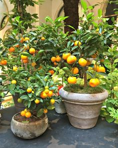 Petersham Nurseries shop potted citrus trees covent garden London by Clare Coulson