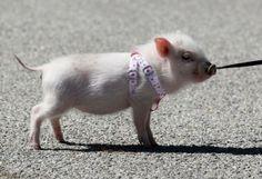 "Kendall's Pig ""Yuma"""