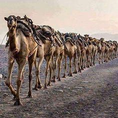 camels of Balochistan, Pakistan Nuku Hiva, Camel Animal, Designer Wallpaper, Wallpaper Designs, Desert Dream, Country Women, Continents, Middle East, Pakistan