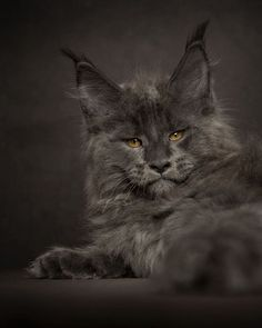 Robert Sijka is a photographer that shows the beauty of Maine Coon cats with his stunning photography series.