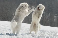 Polar bear dogs by ~Lollappaloosa Great Pyrenees. doats notes: top pick so far. giving the kids(and mom) each their own new puppy when we move. it will be their constant companion on our new land. Pyrenees Puppies, Great Pyrenees Dog, Dogs And Puppies, Doggies, Big Dogs, Large Dogs, Polar Bear Dogs, Polar Bears, Maremma Sheepdog