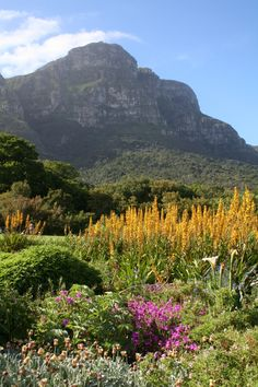 Kirstenbosch Botanical Gardens has to be one of the most picturesque places in the world – it's definitely one of my favourite spots in Cape Town. Check out the travel feature I recently wrote on … Most Beautiful Cities, Beautiful World, Beautiful Gardens, South Afrika, Visit South Africa, Out Of Africa, Elements Of Nature, Africa Travel, Holiday Destinations