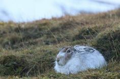 """""""Highlight from trip to Cairngorms last week was seeing this stunning fella - the Mountain Hare!"""" Emma Greenwood (@emlougreen)"""